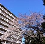 Sakura2011a