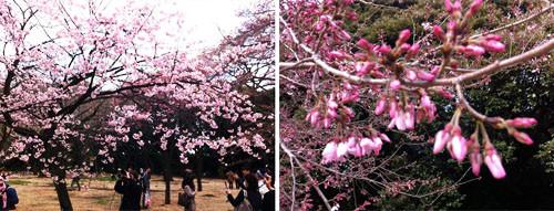 Sakura2012a
