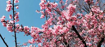Sakura14a