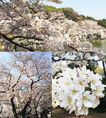 Sakura2015a_2