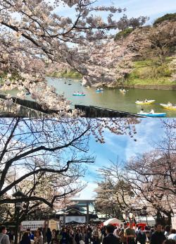 Sakura2017_2