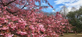 Sakura190221